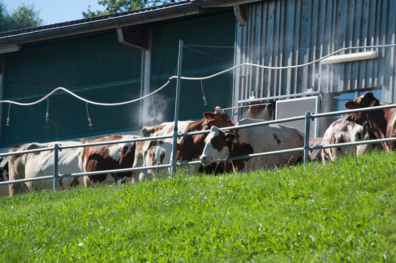 Berghof Hallau Bild von Kühen