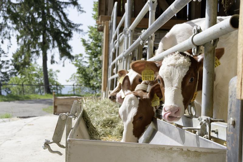 Berghof Hallau Bild von fressenden Kühen