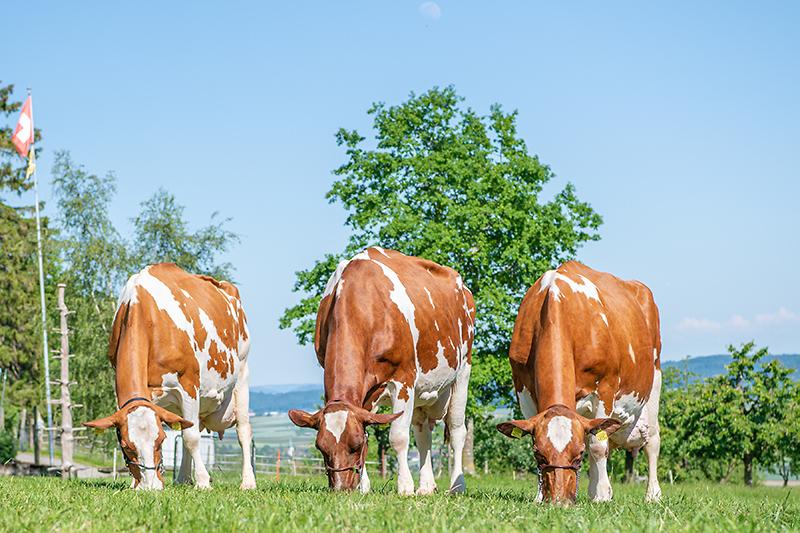 Berghof Hallau Bild von grasenden Kühen
